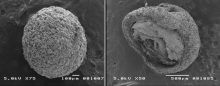 Scanning electronic microscopy of whole OPG (left) and cross-sectioned OPG (right)